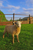 Young sheep — Stock Photo