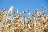 Ears of wheat — Stock Photo
