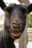Funny goat portrait — Photo