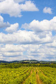 Beautiful Vineyard landscape — Stock Photo