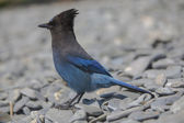 Steller Blue Jay — Zdjęcie stockowe
