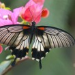 Great mormon (Papilio memnon agenor) butterfly — Stock Photo #48269741