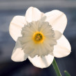Single daffodil - narcissus flower — Stock Photo #48272897