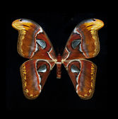 Atlas Moth isolated on black — Stock Photo