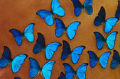 Blue morpho butterflies background — Stock Photo
