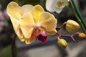 Yellow orchid detail — Stock Photo