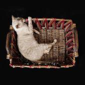 バスケットにベンガル猫 — ストック写真