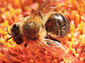Bee macro — Stock Photo