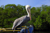 Pelican perching — Stock Photo