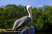 Pelikan tıraşlama — Stok fotoğraf