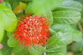 Orange jasmine bush — Stock Photo