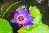 Loto púrpura — Foto de Stock