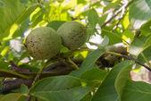 Green walnut — Stock Photo