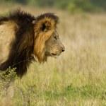 Постер, плакат: Lion stalking