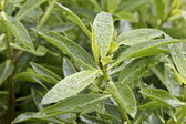 Green plant with water droplets — Stock Photo