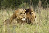 Lion brothers — Stock Photo