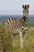 Zebra standing next to a thorn bush — Stock Photo