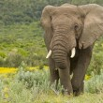 Постер, плакат: Feeding elephant
