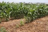Young Corn crop — Stock Photo