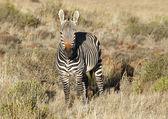 Mountain zebra — Stock Photo