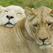 Постер, плакат: Two lionesses resting