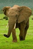 Large male elephant — Fotografia Stock