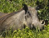 Large female warthog — Stock Photo
