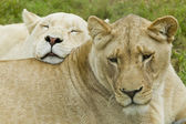Duas leoas descansando — Fotografia Stock