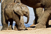 Young elephant calf — Stock Photo