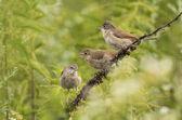 Three birdies — Stock Photo