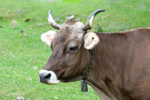 Portrait of brown cow on a pasture — Stock Photo