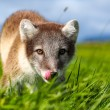 Arctic fox — Stock Photo #48998247