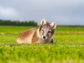 Polar fox — Stockfoto