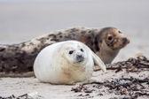 Joven foca gris — Foto de Stock