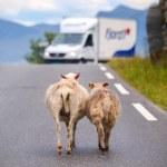 Sheep walking along road. — Stock Photo #49596909