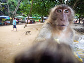 The crab-eating macaque — Stockfoto
