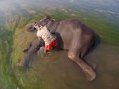 Mahout is cleaning Elephant — Stock Photo
