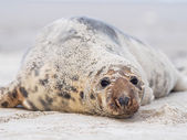 Grey puppy seal — Stock Photo