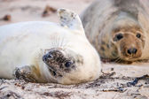 Grey Seal pup waiting for its' mother — Stock Photo