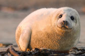 Puppy sea lion — Stock Photo