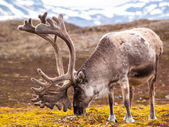Reindeer roaming on  meadow — Stock Photo
