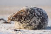 Grey Seal — Stock Photo