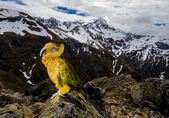 Kea Mountain Parrot — Stock Photo