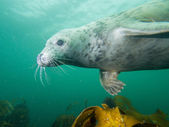 Grey seal in North Sea — Stock Photo