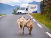 Sheep walking along road. — Stock Photo