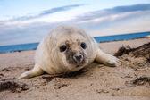 Grey puppy seal — Stok fotoğraf