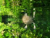 Underwater duck — Stock Photo