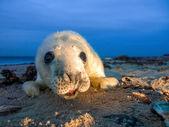 Baby Grey Seal  on the Beach — Stock Photo