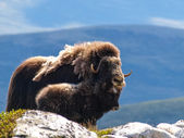 The Musk Ox — Stock Photo