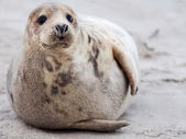 Young Grey Seal — Stock Photo